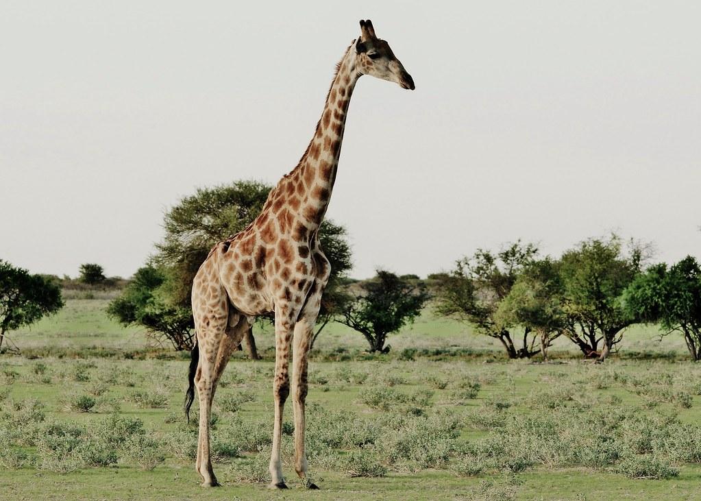 South African giraffe or Cape giraffe (Giraffa camelopardalis giraffa)