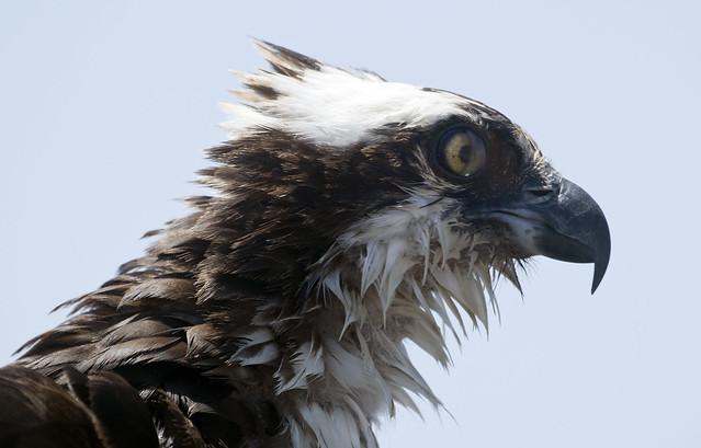 Osprey bird with two chicks on nest -  Jamestown Ferry docks  Virginia