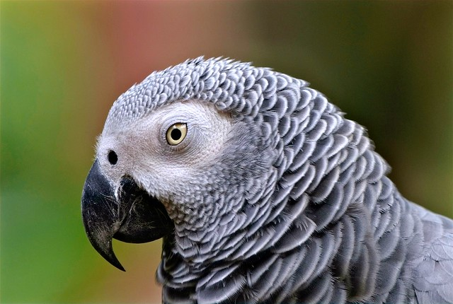 Parrot: African Grey