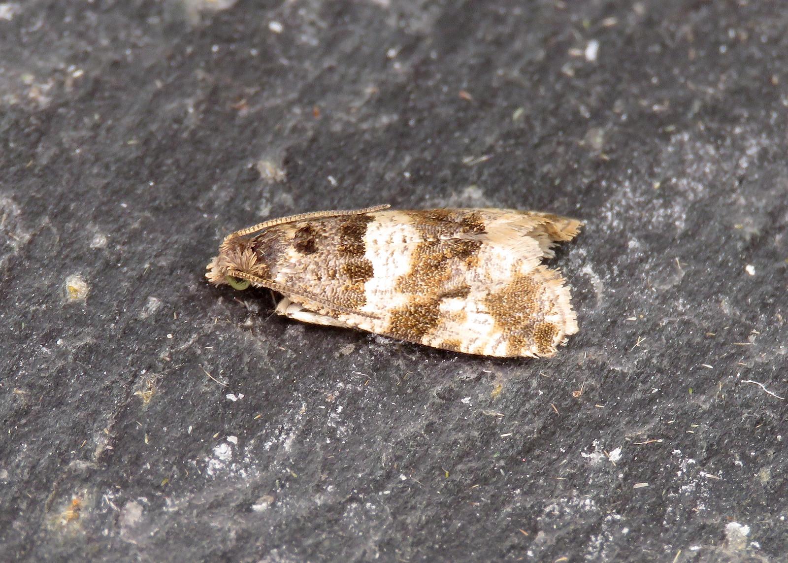 49.154 Woodland Marble - Orthotaenia undulana
