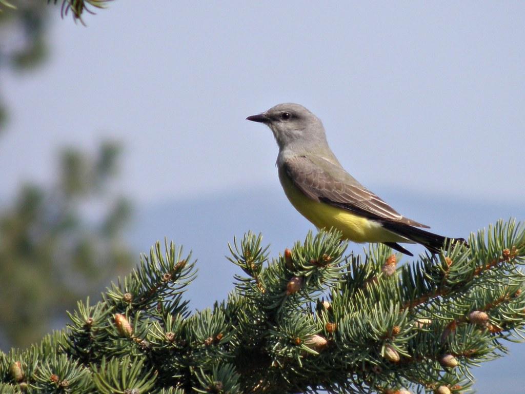 P5018086...western kingbird