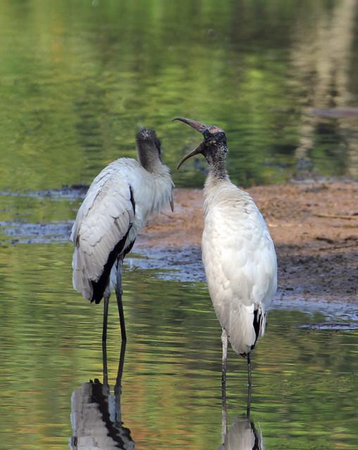 Wood storks arguing