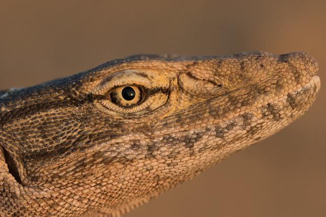 portrait at sunset - Desert monitor (Varanus griseus)
