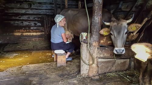 Julia et sa vache