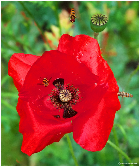Annual red poppy