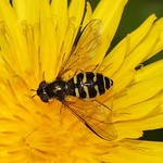 Liebliche Waldschwebfliege (Splendid Forest Hoverfly, Dasysyrphus venustus)