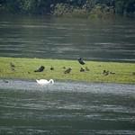 Wasservögel auf einem schmalen Streifen Land, das vom Hochwasser in der Heisinger Ruhraue verschont geblieben ist