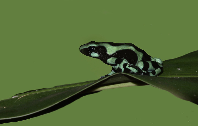 Green-and-black Poison Dart Frog, Dendrobates auratus_199A6894