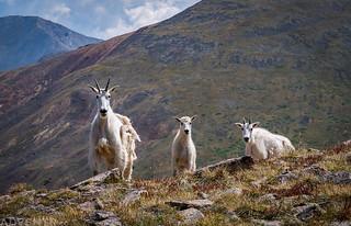Three Goats | by IntrepidXJ