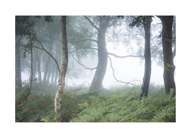 Summer Mist, Birch Grove