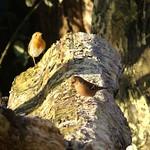 Buchfink (Fringilla coelebs, rechts) und Rotkehlchen (Erithacus rubecula) im NSG Heisinger Bogen