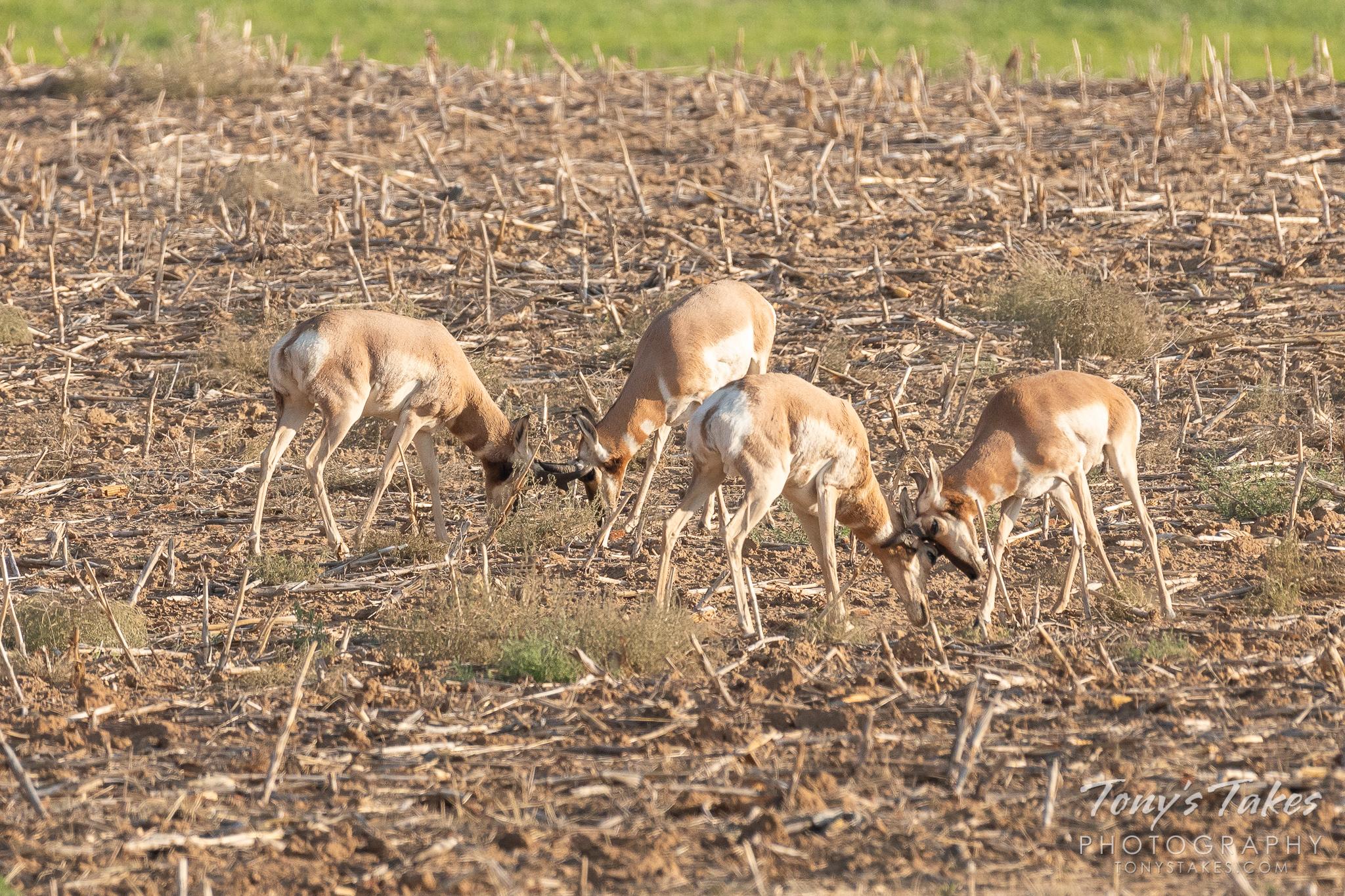 Pronghorn bucks test their mettle against each other in some pre-rut action in Colorado.  (© Tony's Takes)