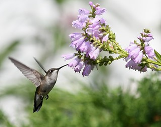 Ruby-throated hummingbird feeding from an obedient plant | by U.S. Fish and Wildlife Service - Midwest Region