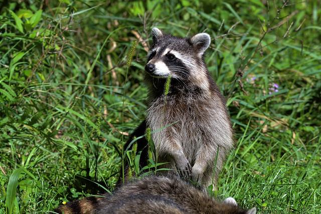 Raton laveurs ---  Raccoon ---  Mapache boreal o Racuna