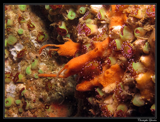 Eponge mousse de carotte (Amphilectus fucorum)