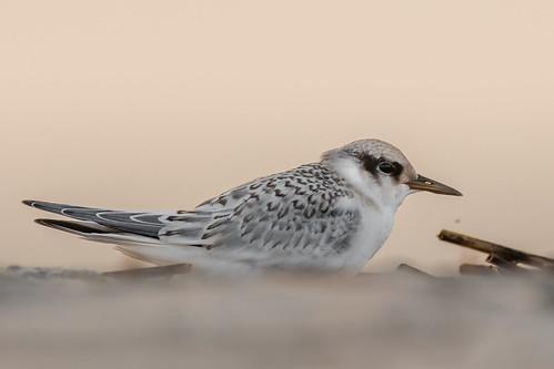 tern leasttern juvenile sigma150600sport sigma shorebirds stoneharbor stoneharborpoint nature nikond500 nikon newjersey sunrise bird birding birdwatching birds