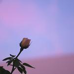 Rose - Golden Celebration