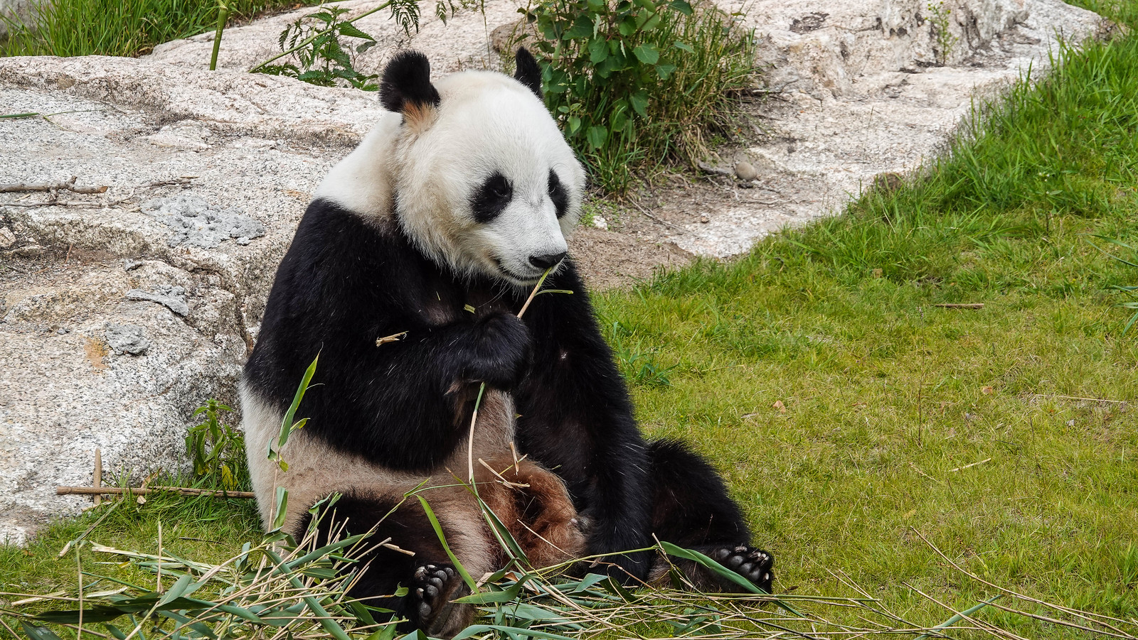 Panda Live ähtäri