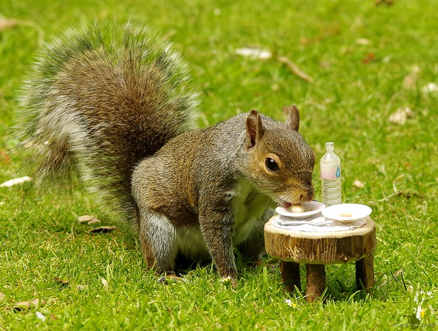 grey squirrel with picnic table  (7)