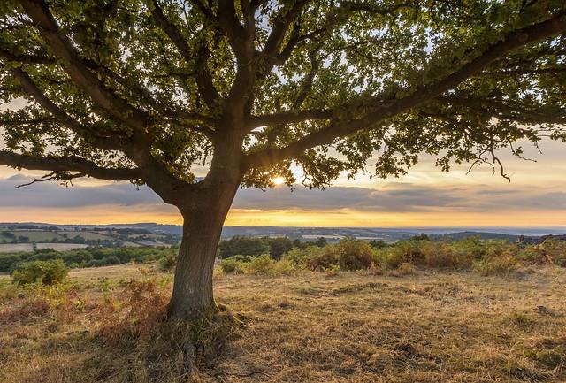 Beacon Hill Tree