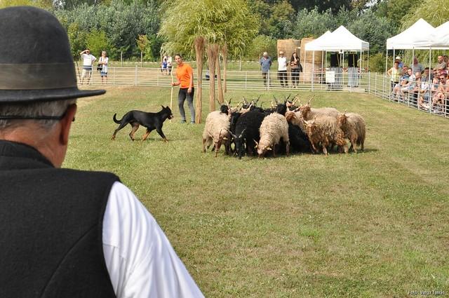 Magyar Pásztorkutyák Terelőversenye