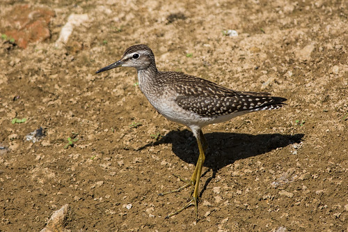 Фифи - Wood sandpiper | by SvetlanaJessy