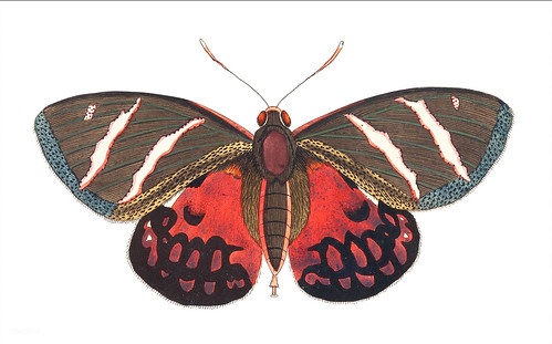 Icarus or Papilio Icarus illustration from The Naturalist's Miscellany (1789-1813) by George Shaw (1751-1813) | by Free Public Domain Illustrations by rawpixel