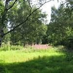 Lichtung mit Weidenröschen im Gleispark Frintrop