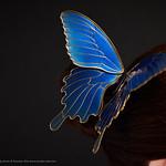 2018 大蝶簪【 瑠璃 -ruri- 】Big butterfly 03