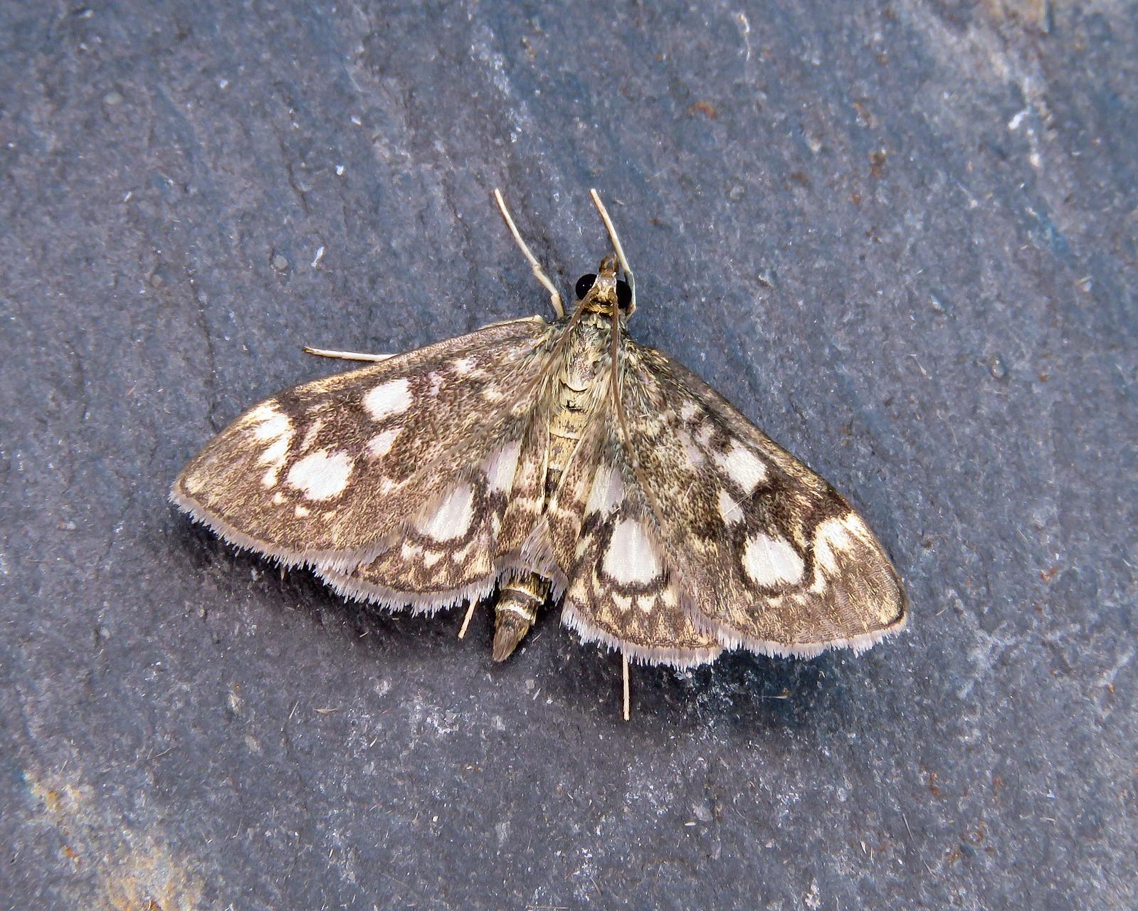 63.018 Spotted Magpie - Anania coronata
