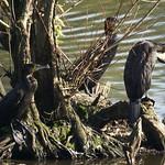 Kormorane (Phalacrocorax carbo carbo) in der Heisinger Ruhraue