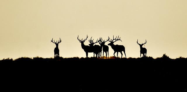 Elk at Seedskadee National Wildlife Refuge