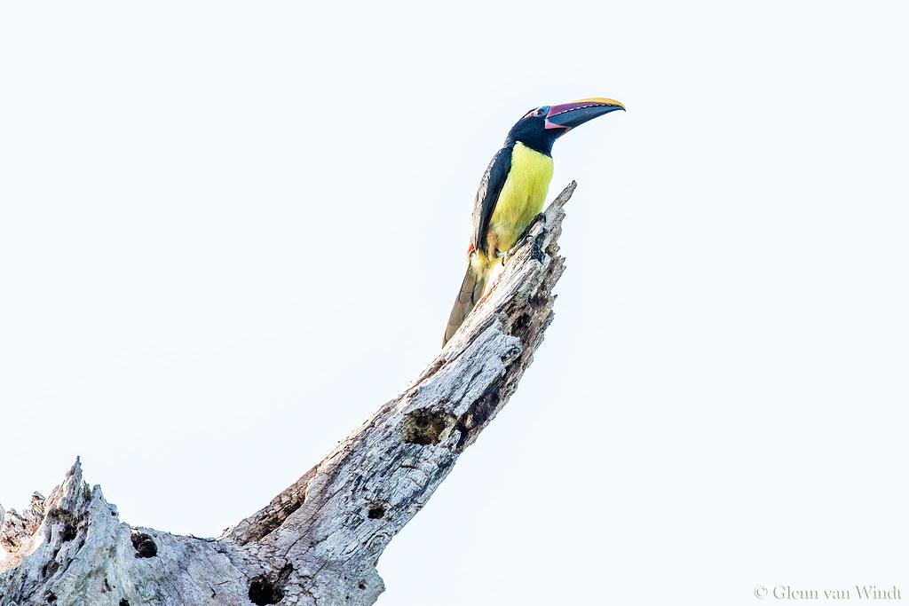 High Key Aracari...