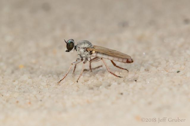 Robber Fly (Stichopogon fragilis)