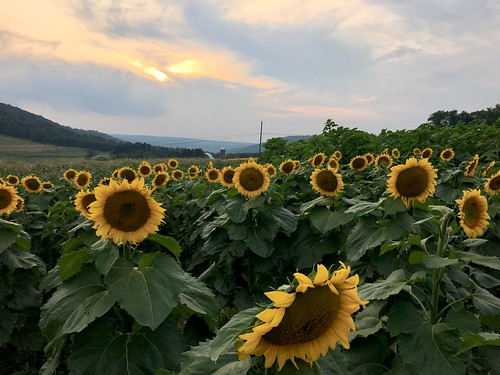 mchenry maryland garrettco fields flowers sunflowers sunsets iphone cmwd topf25