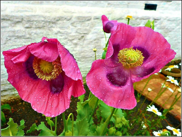Two Poppies ..
