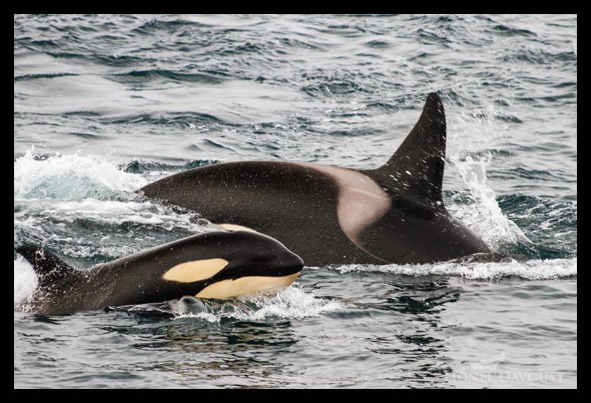 Orca life