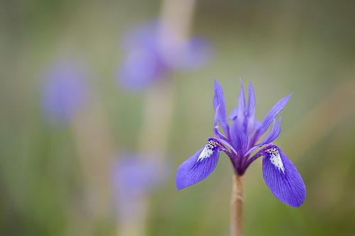 Moraea sisyrinchium | by macropoulos