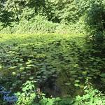 Flaches Gewässer mit Seerosen im NSG Heisinger Bogen