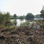 Der Japanische Staudenknöterich (Fallopia japonica), der am Ruhrufer in der Heisinger Aue gestanden hat, wurde vom Sommerhochwasser 2007 niedergedrückt