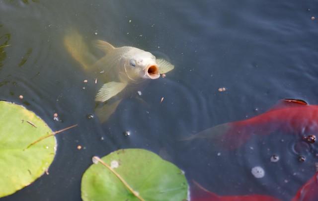 White Koi in the Pond!
