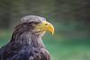 white-tailed eagle (Haliaeetus albicilla) by JirikD