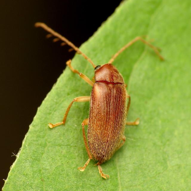 Toe-winged Beetle