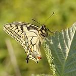 Schwalbenschwanz (Papilio machaon) am Tetraeder