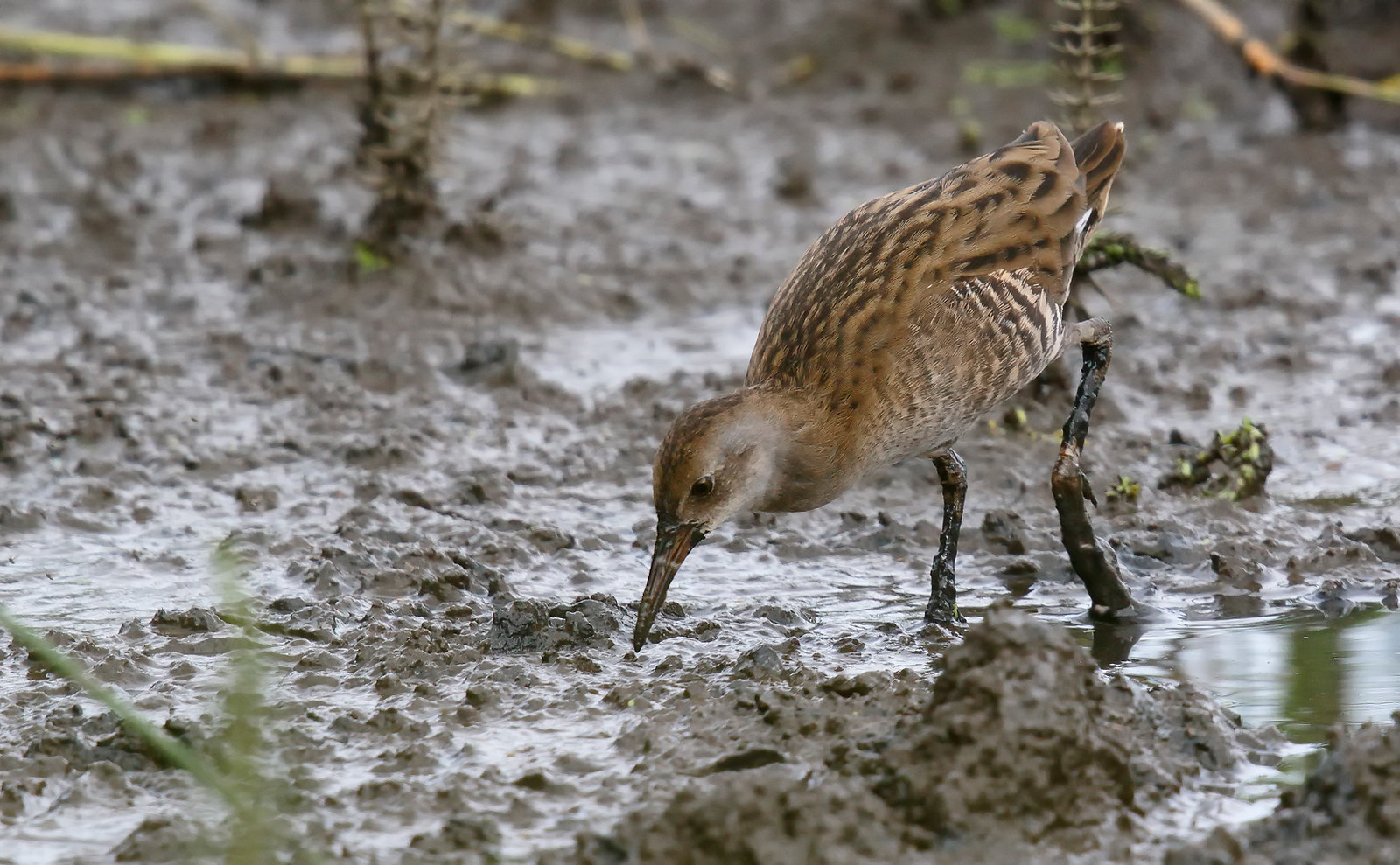 Juvenile Water Rail