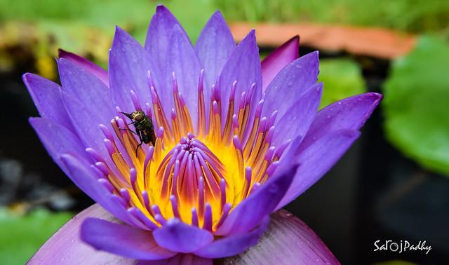 Lotus Macro shot