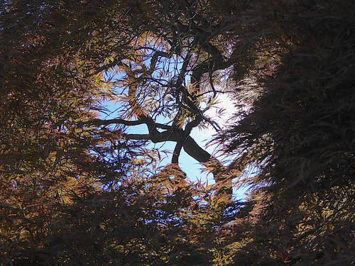 perepective through view tree maple japanese branches leaves red harkness
