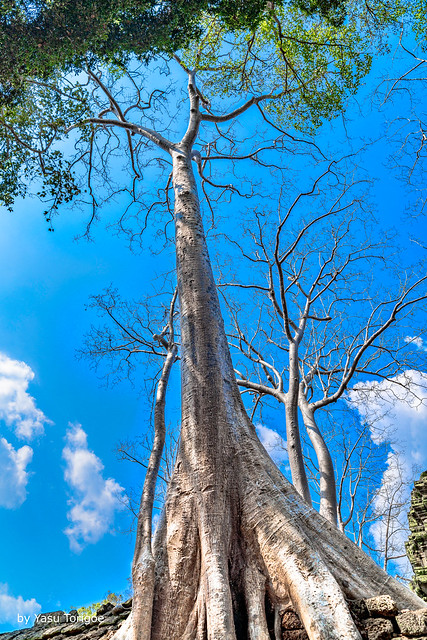 Giant Tree Shoots Towards the Sky in Ta Prohm Temple, Cambodia-50a