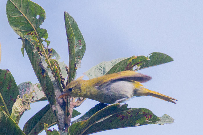 Guira Tanager  - female