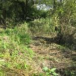 Vom Hochwasser gefälltes Drüsiges Springkraut (Impatiens glandulifera) liegt in der Heisinger Ruhraue flach am Boden